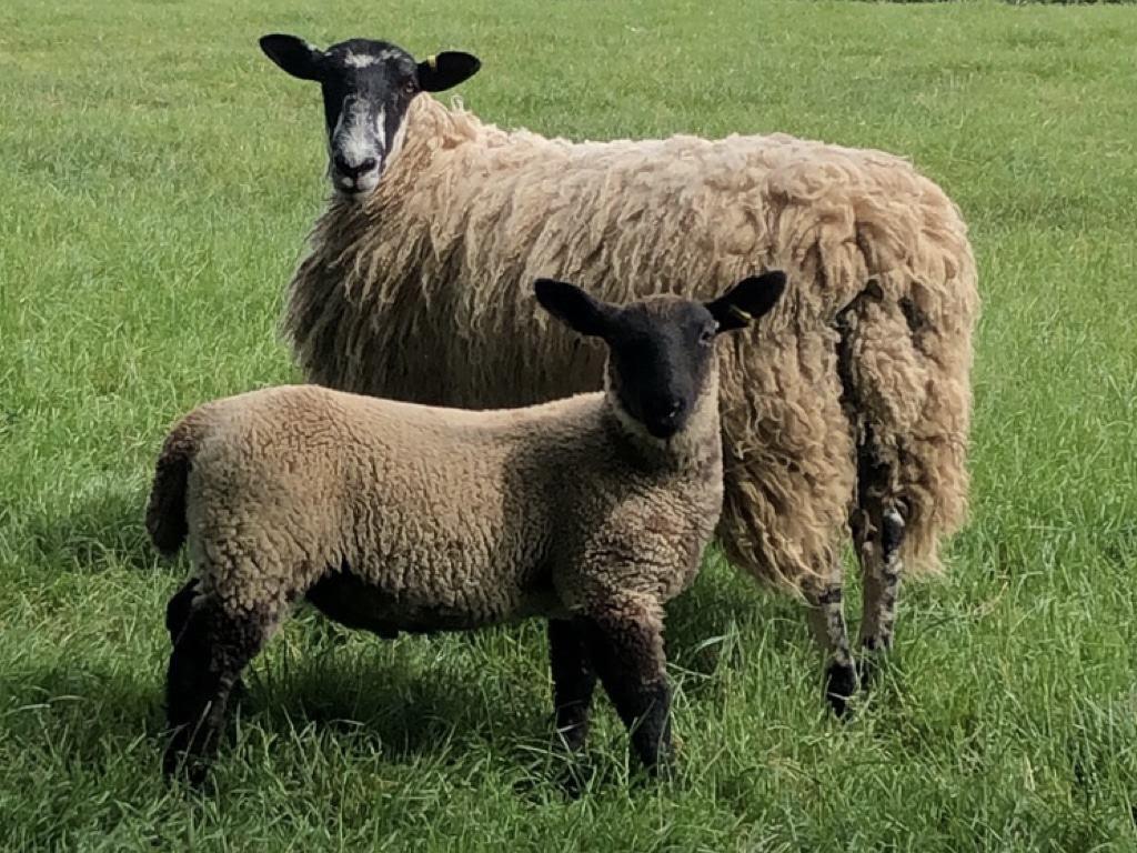 Ross_Sizmur_Livestock_for_Sale_.002