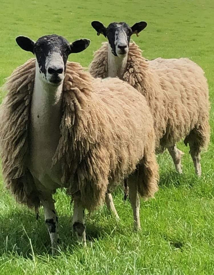 sheep_for_sale*